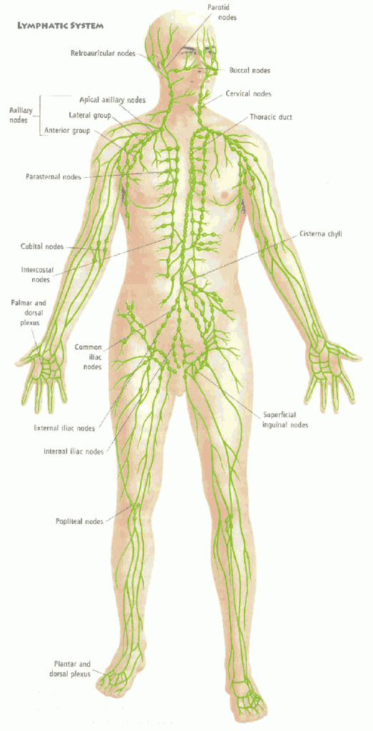 What is a Manual Lymphatic Drainage (MLD) Massage Therapy? | Tampa ...